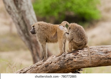 Closeup of Olive Baboons (scientific name: papio anubis, or Nyani in Swaheli) in the Tarangire National park, Tanzania