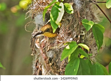 Closeup Olive-Backed Sunbird in Nest Isolated on Nature Background