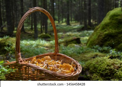 Close-up on basket full of freshly picked golden-colored delicacy chanterelle mushrooms in the forest. Photo taken in Sweden