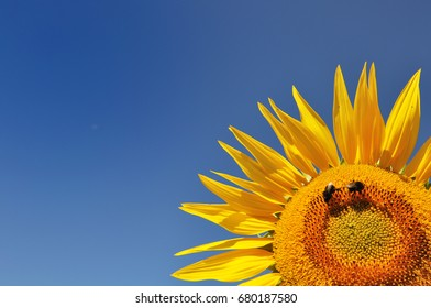 closeup on beautiful sunflower with bees on blue sky background