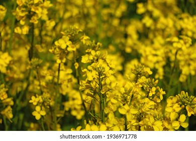 Close-up on a blooming rapeseed in spring. Background