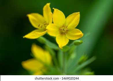 closeup on blooming yellow loosestrife