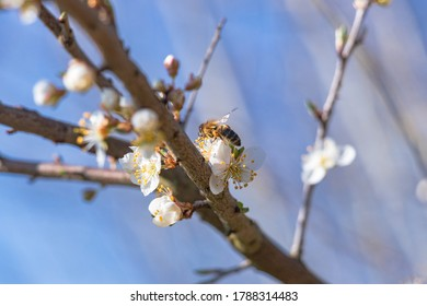 close-up on a branch with a bee on a bird cherry blossom