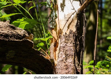 close-up on a broken tree in a green forest in the background