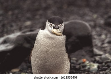 Close-up on a chinstrap penguin carrying a rock to its nest during breeding season in the wildlife of Antarctica