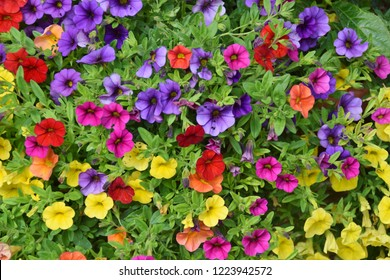 close-up on colored petunias