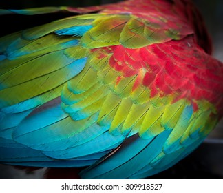 Close-up on Colorful quill of Scarlet Macaw, making background