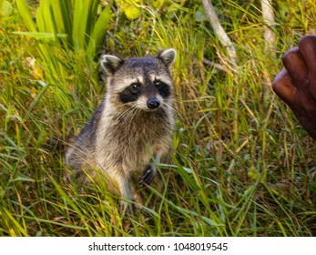 Closeup on a cute little raccoon in the grass