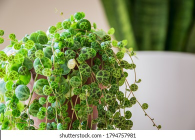 """Close-up on the dainty patterned leaves of """"string of turtles"""" (peperomia prostrata) trailing houseplant in a modern apartment. Trendy houseplant detail against white backdrop. - Shutterstock ID 1794757981"""