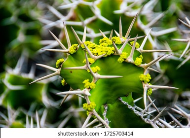 Close-up on Euphorbia Grandicornis, Cow's Horn Cactus with delicate yellow-green flowers.