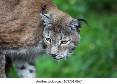 Close-up on the face of a lynx walking