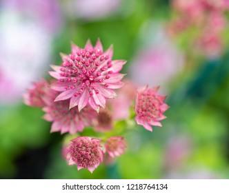 Close-up on flowers  of beautiful  pink  Astrantia major, Great Masterwort.