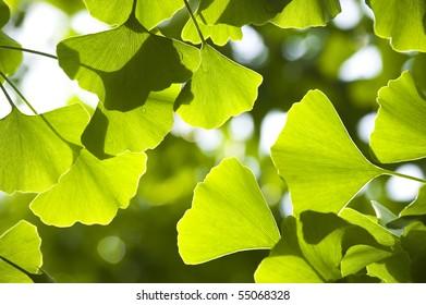 Close-up on Ginkgo Biloba tree