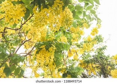 Closeup on golden shower tree or cassia fistula a flowering plant with yellow flowers.It is the national tree of Thailand.