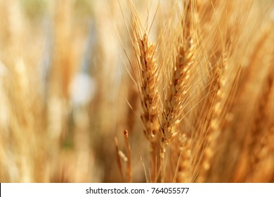 Closeup on golden wheat field or barley farming. Rye of barley plants harvest and agriculture background.