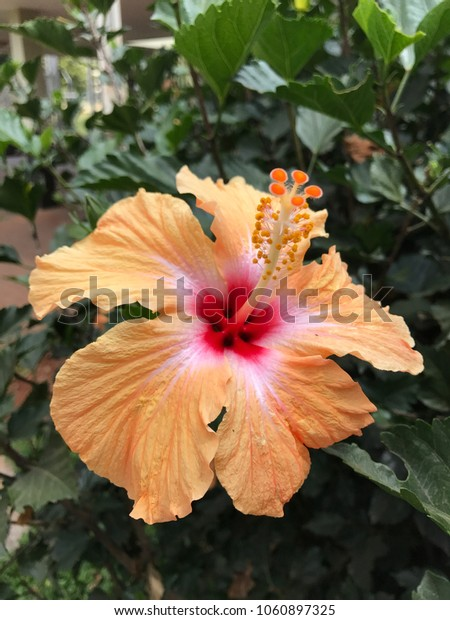 Closeup on gorgeous orange hibiscus flower