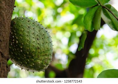 close-up on graviola fruit