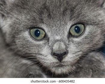 Closeup on Gray Kitten with Green Eyes