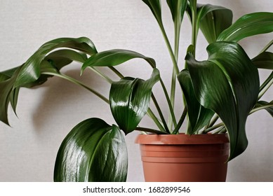 Closeup on a green aspidistra plant growing in a red plastic pot indoors against a white wall in a cropped view