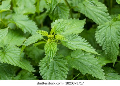 Close-up on a green nettle herb