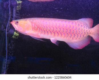 Closeup on group of Arowana fish on dark aquarium background