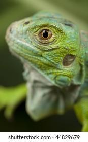 Close-up on a iguana