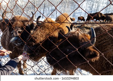 A close-up on the jaws of an animal bull on Wall Street, a cow, a bison stuck through the net fence is fed from the hand with bread. Agriculture and farming. An endangered species of red book animals