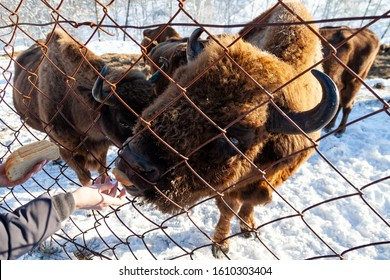 A close-up on the jaws of an animal bull on Wall Street, a cow, a bison stuck through the net of a hand-fed fence. Agriculture and farming. An endangered species of animals listed in the Red Book.
