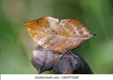 Close-up on kallima butterfly know as oakleaf. To avoid becoming prey, this butterfly use mimicry to blend in with their environment