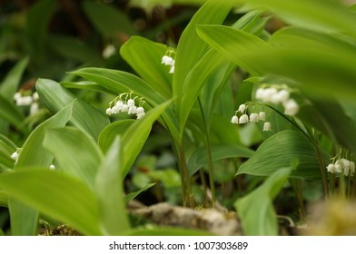 Closeup on lily of the valley flowers. White petals.