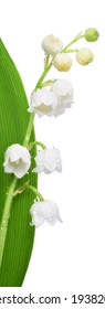Closeup on lily of the valley flowers isolated on white background. Border element with text space.