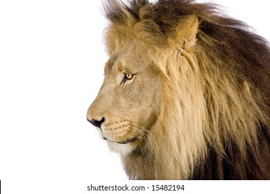 Close-up on a Lion's head (8 years) - Panthera leo in front of a white background