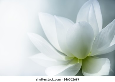 Closeup on lotus petal with copyspace