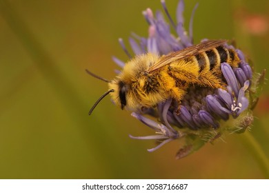 Closeup on a male Pantaloon bee, Dasypoda hirtipes, sitting in the blue flower of Jasione montana