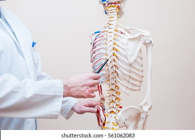 Closeup on medical doctor man pointing on thorax of human skeleton anatomical model. Selective focus