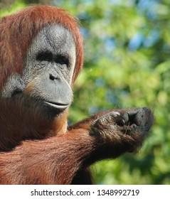 Close-up on an orangutan looking at the camera