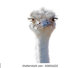 close-up on a ostrich's head in front of a white background