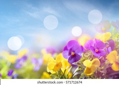 Closeup on pansy flower at sunny day