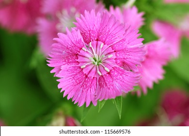 Close-up on pink flowers