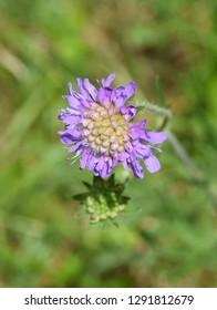 Closeup on purple flower of field scabious Knautia arvensis