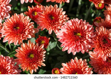 Close-up on red chrysanthemum plant on a tombstone for all saints day