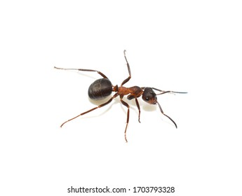 Close-up on red wood ant Formica rufa isolated on white background
