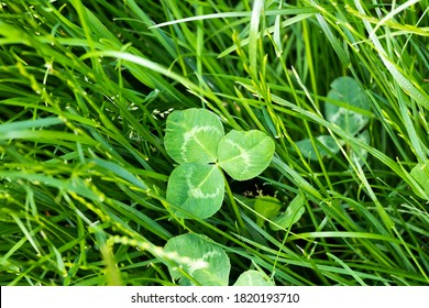 close-up on a shamrock in the green grass