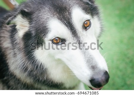 Closeup On Siberian Husky Dog Brown Stock Photo Edit Now 694671085