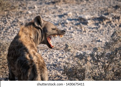 Closeup on the spotted hyena with open mouth, also known as the laughing hyena, currently classed as the sole extant member of the genus Crocuta. Etosha National Park, Namibia, Africa.