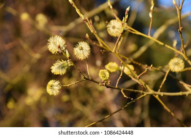 Closeup on sunlit blossom willow catkins