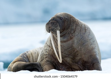 Closeup on Svalbard walrus with tusks