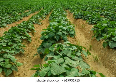 Close-up on sweet potato crop in sandy soil