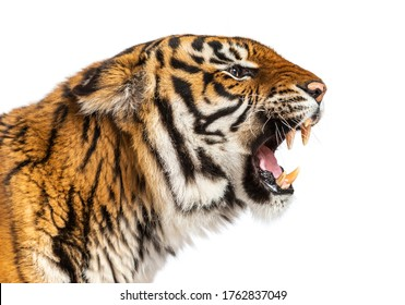 close-up on a Tiger's head looking angry, showing its tooth