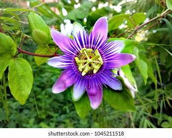 Close-up on an ultra violet clematis flower, in the color of the year in 2018, for summer landscapes